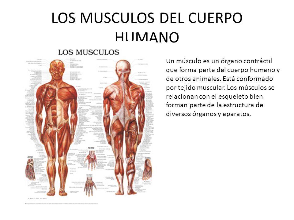 EL CUERPO HUMANO El cuerpo humano posee unos cincuenta billones de ...