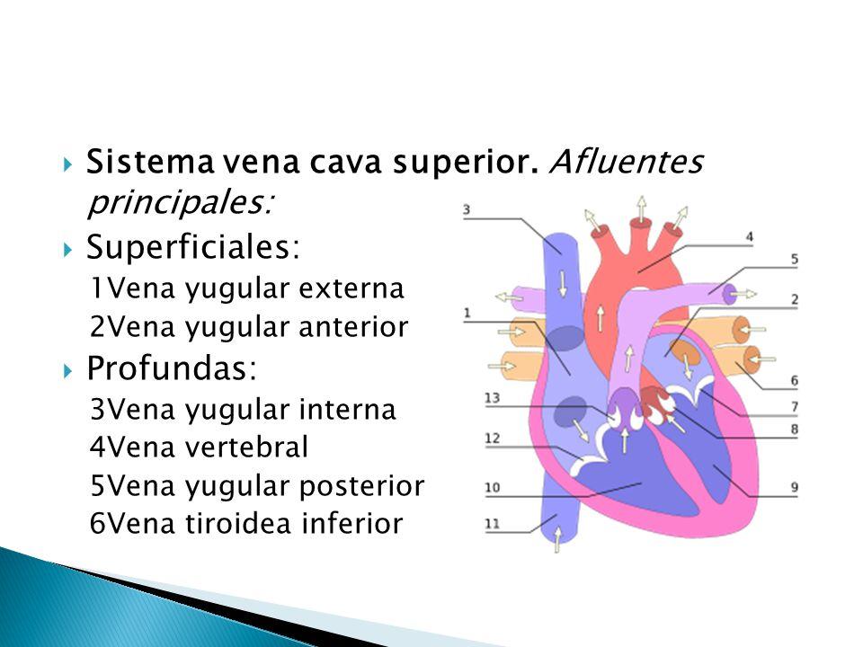 Venas Cava Equipo Circulatorio.. - ppt descargar