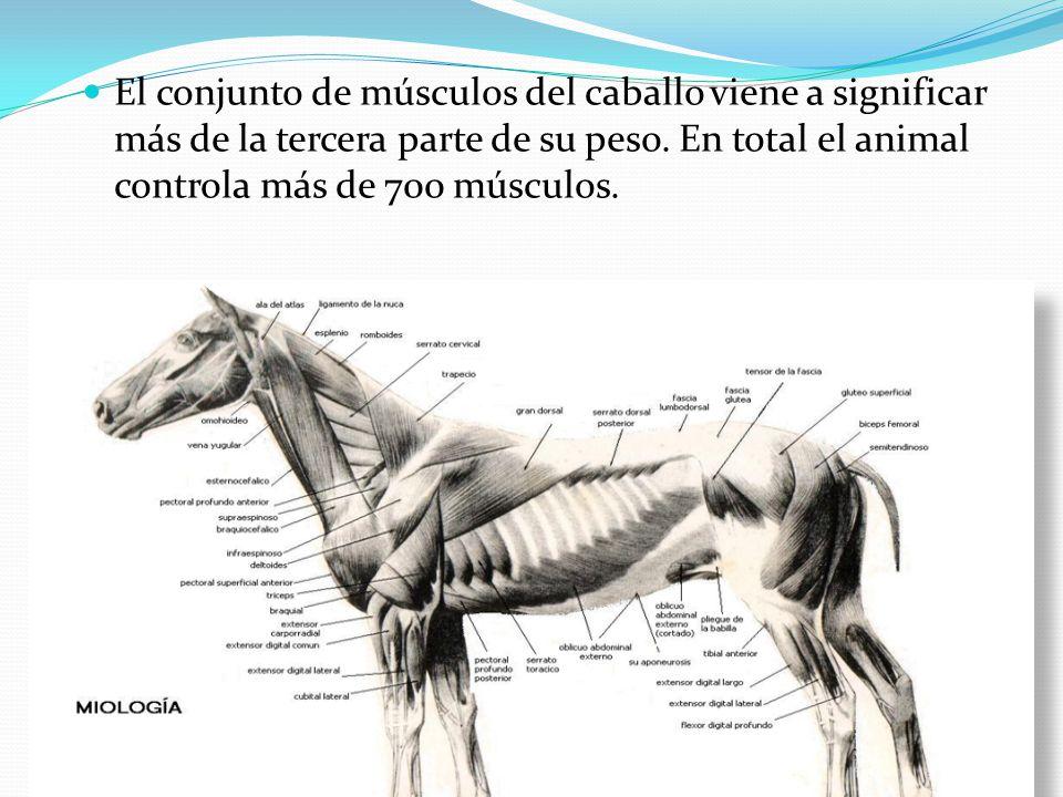 Músculos Abdomen tronco y cola del equino - ppt video online descargar