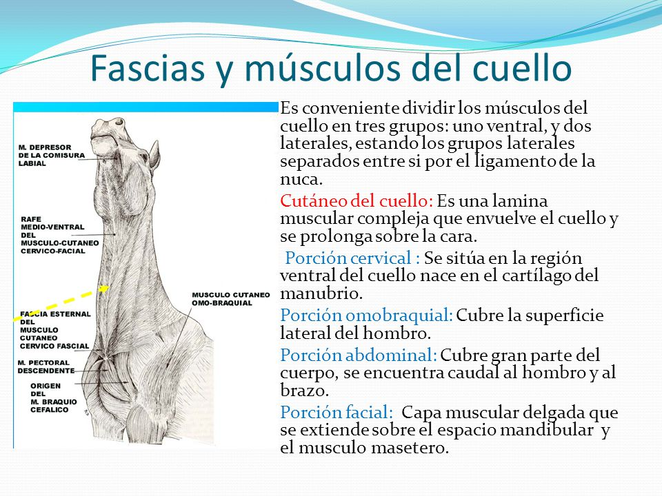 Músculos del cuello del caballo - ppt video online descargar