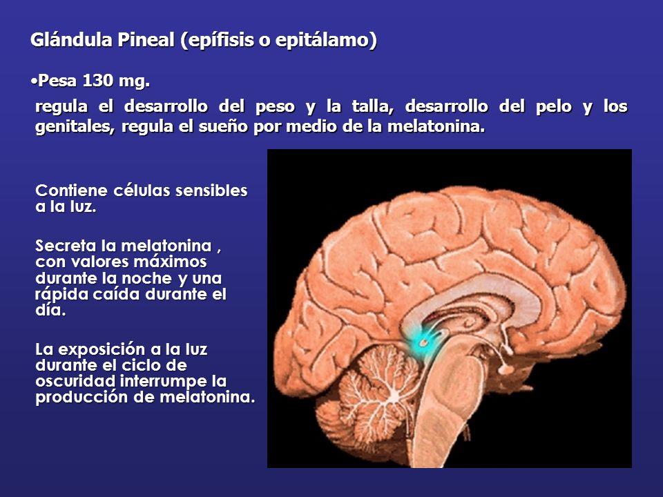 Increíble Glándulas Pineal Colección de Imágenes - Anatomía de Las ...