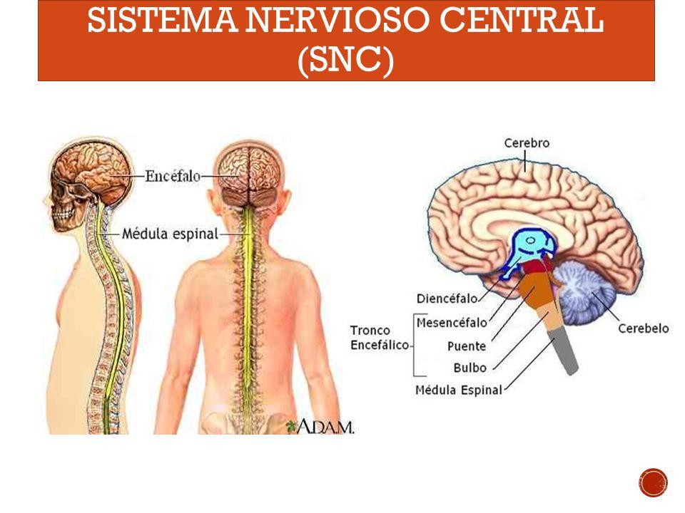 el dibujo del sistema nervioso » Full HD MAPS Locations - Another ...