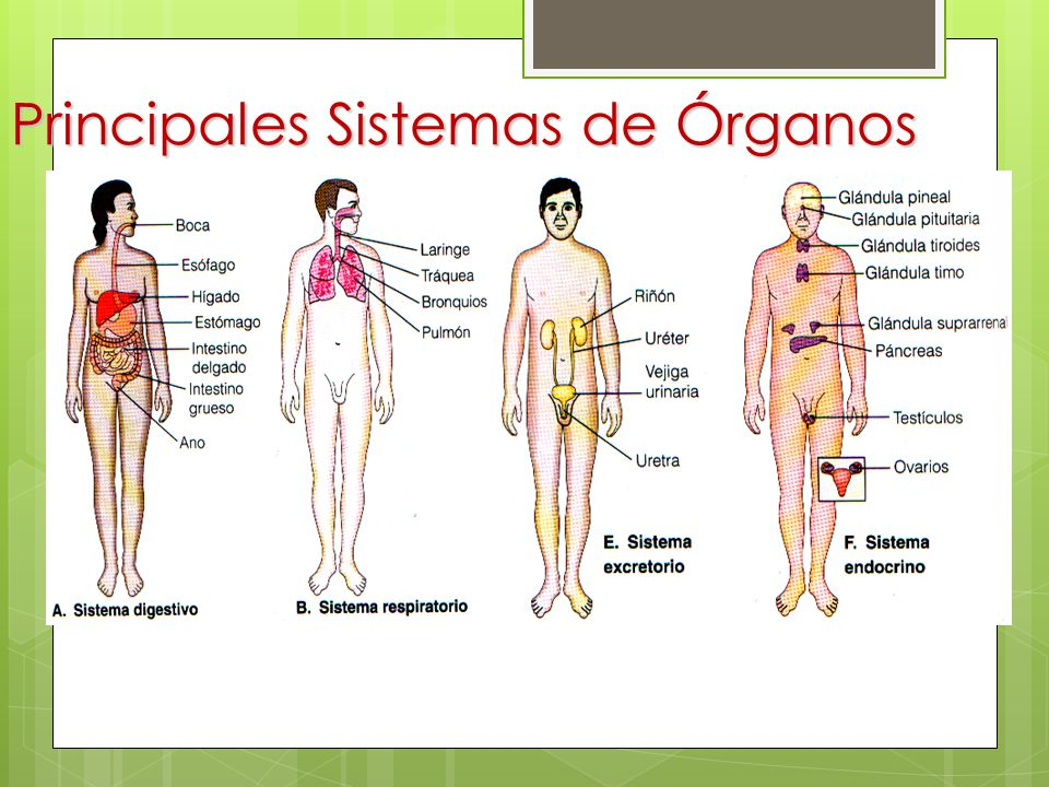 Los animales Niveles de organización Sistemas de órganos - ppt descargar