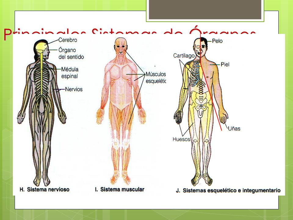 Lujoso Sistemas De órganos Cresta - Imágenes de Anatomía Humana ...