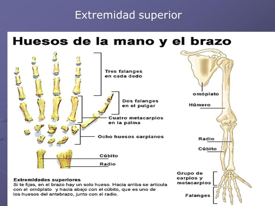 Huesos del cuerpo humano - ppt descargar