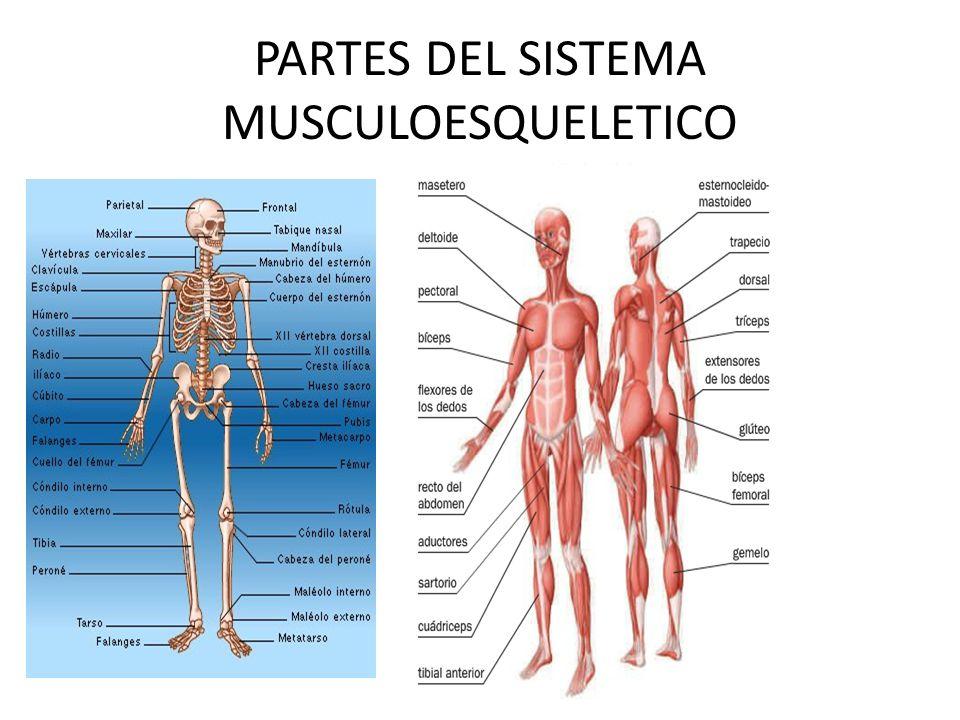 Vistoso Anatomía De Los Músculos Esqueléticos De Los Músculos De La ...