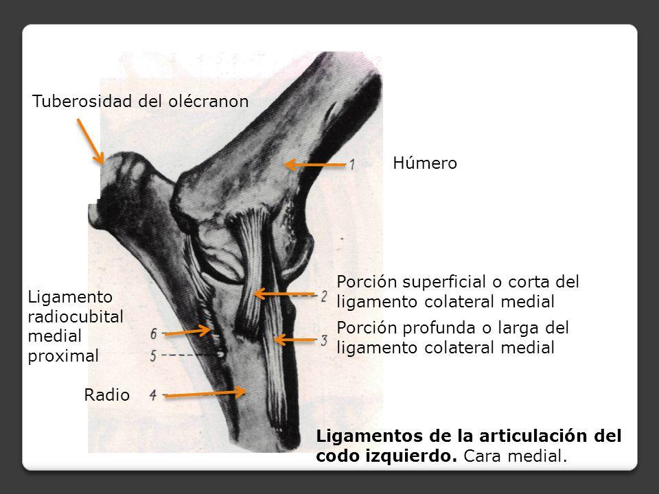 Excelente Ligamento Del Codo Inspiración - Imágenes de Anatomía ...