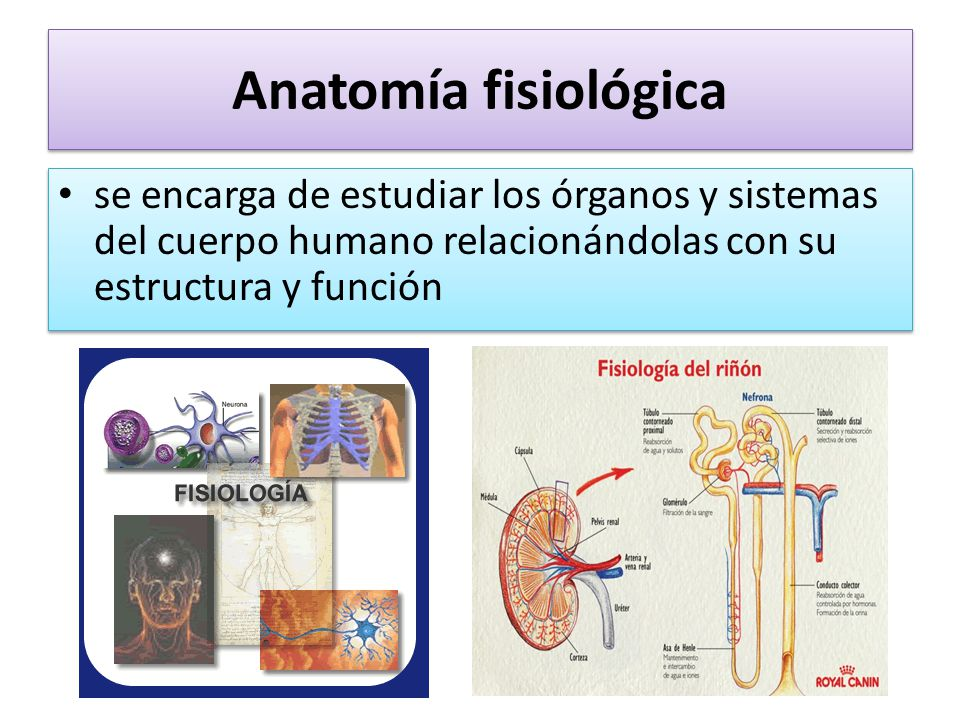 Lujoso Anatomía Y Fisiología Descripción Embellecimiento - Anatomía ...