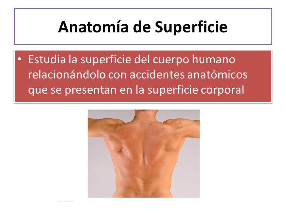 Vistoso Definición Anatomía De Superficie Modelo - Anatomía de Las ...
