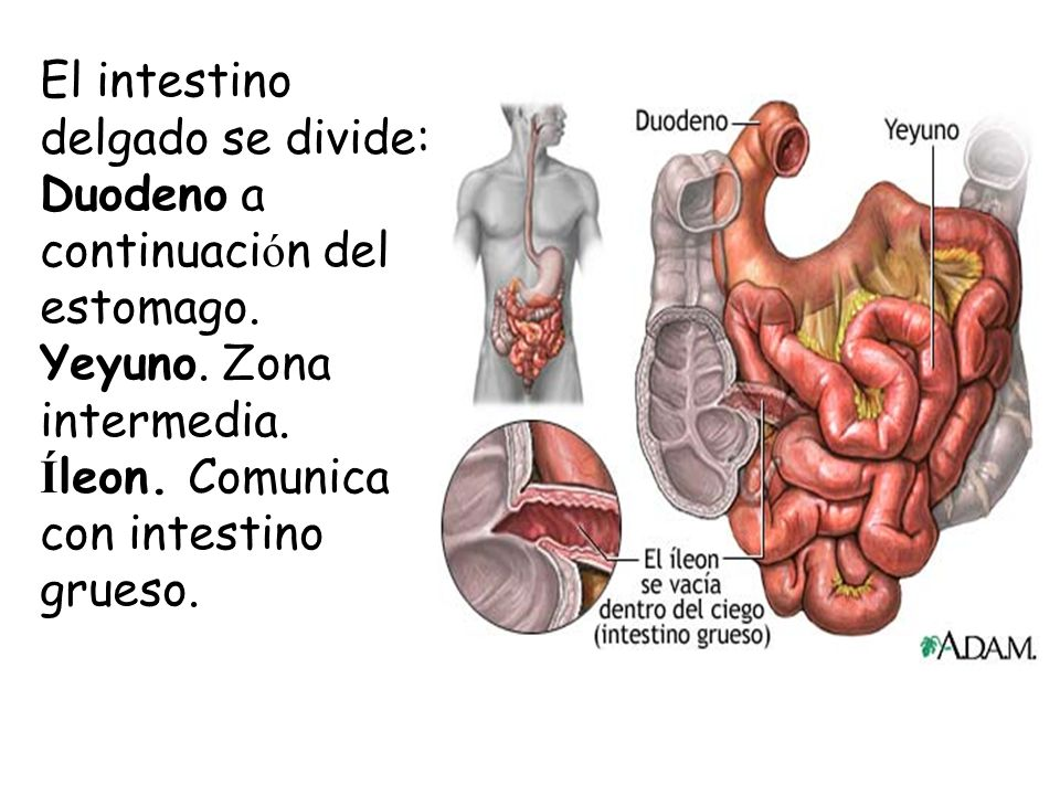 Sistema Digestivo. - ppt video online descargar