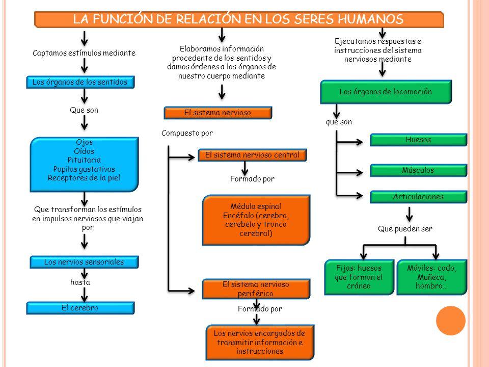 TEMA 4.- LA FUNCIÓN DE RELACIÓN EN LOS SERES HUMANOS - ppt video ...
