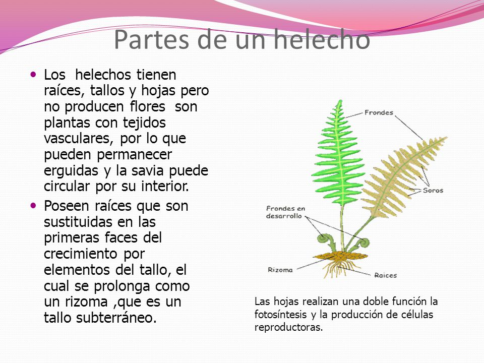 Briofitas y Pteridofitas - ppt video online descargar
