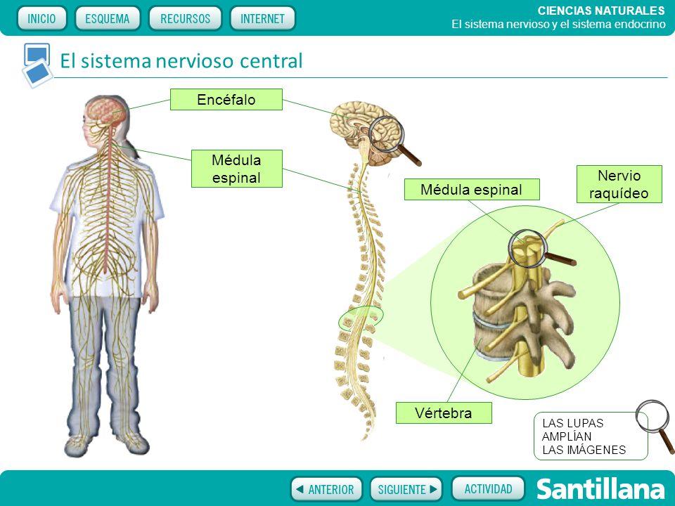 El sistema nervioso y el sistema endocrino - ppt video online descargar