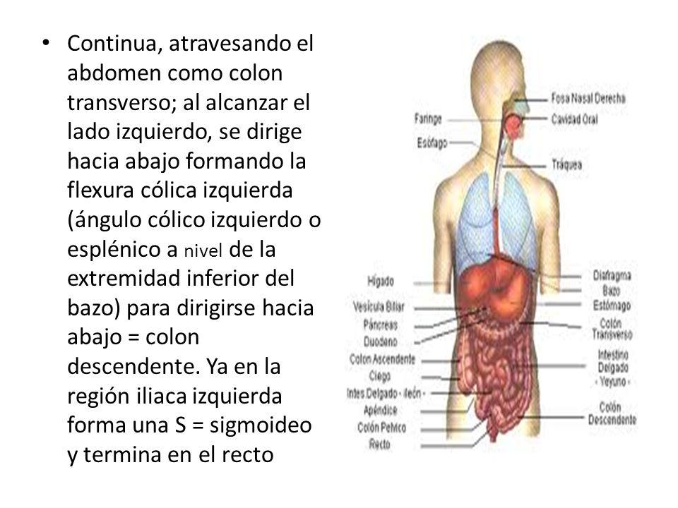 Vistoso Anatomía ángulo Esplénico Colección de Imágenes - Imágenes ...