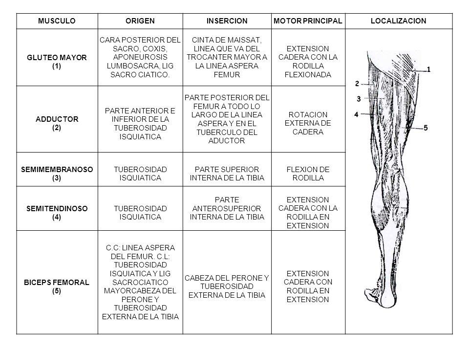 Hermosa Parte Posterior De Músculos De La Rodilla Bosquejo ...
