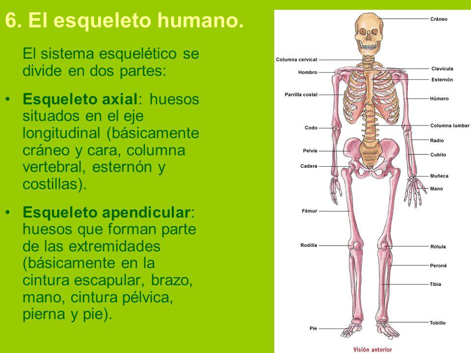 FUNDAMENTOS BIOLÓGICOS Tema 2: Osteología Humana. - ppt video online ...