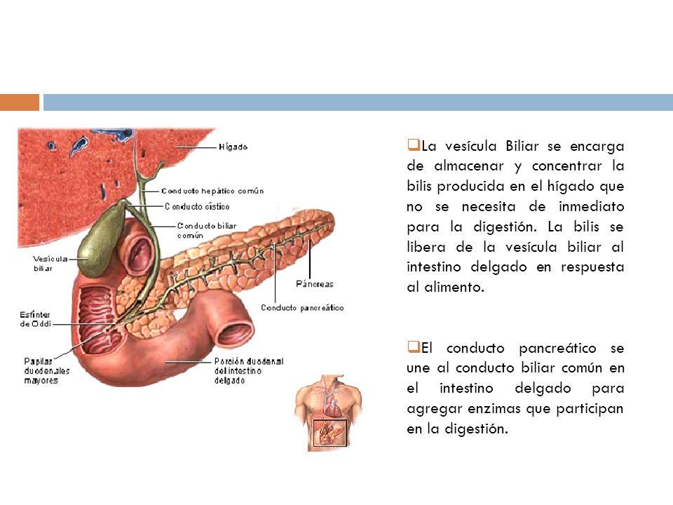 Capítulo 6 Clase 8 LA BILIS Anatomía del Sistema Biliar - ppt video ...