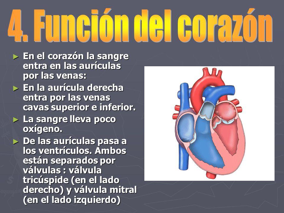 Dorable La Estructura Y Función Del Corazón Fotos - Anatomía de Las ...