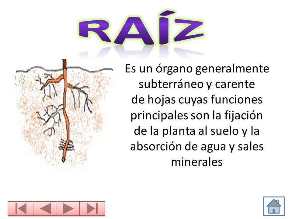 LAS PARTES DE LA PLANTA FLOR FRUTO HOJA TALLO RAÍZ. - ppt video ...