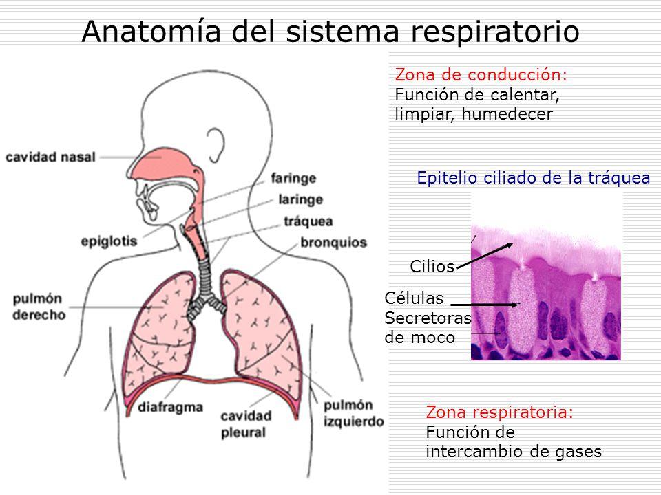 Fisiología Fisiopatología Sistema Respiratorio. - ppt descargar