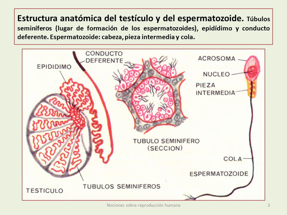 Nociones sobre reproducción humana - ppt descargar