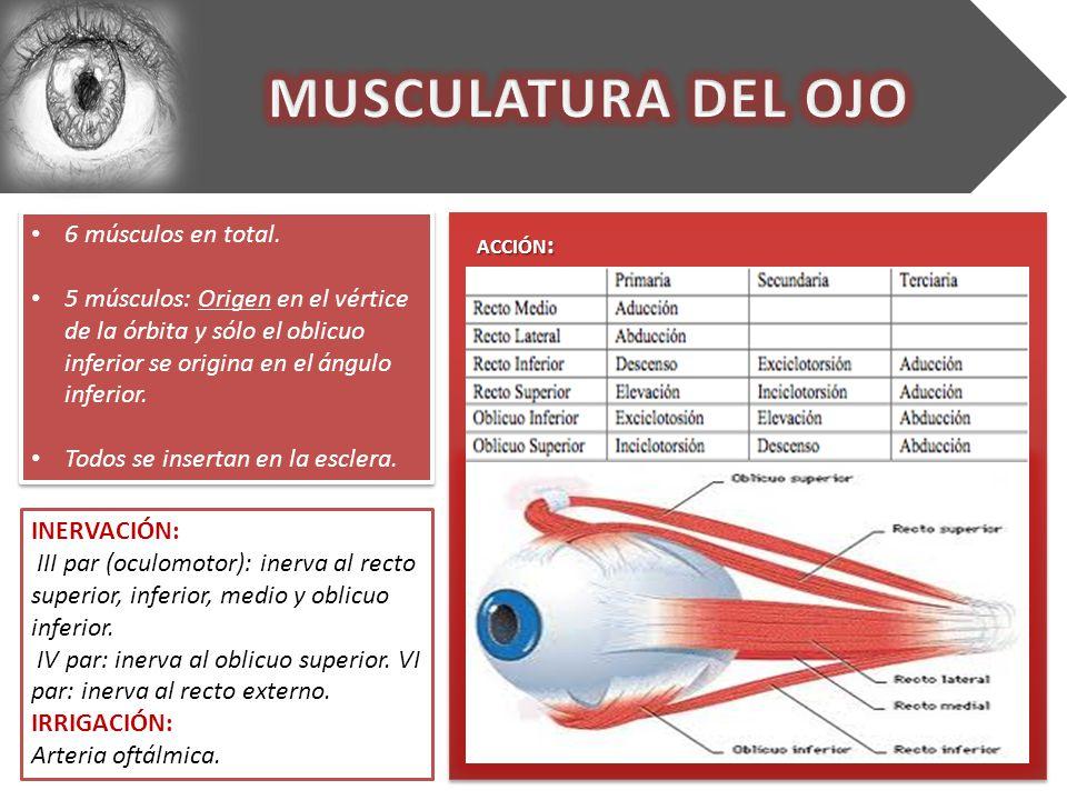 Dorable Anatomía De Los Músculos Del Ojo Modelo - Anatomía de Las ...