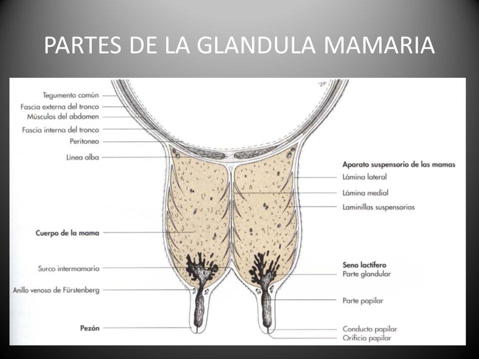 GLANDULAS MAMARIAS ENMANUEL JOSE BENAVIDES ALVARADO. - ppt descargar