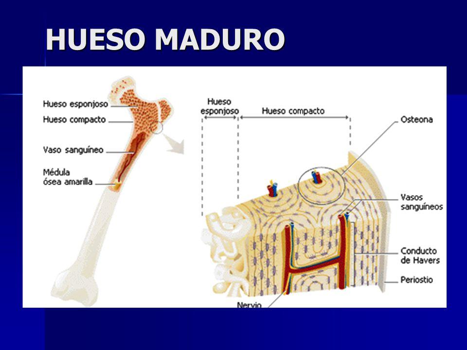 TEJIDO CONJUNTIVO Clasificación del Tejido Conjuntivo - ppt video ...