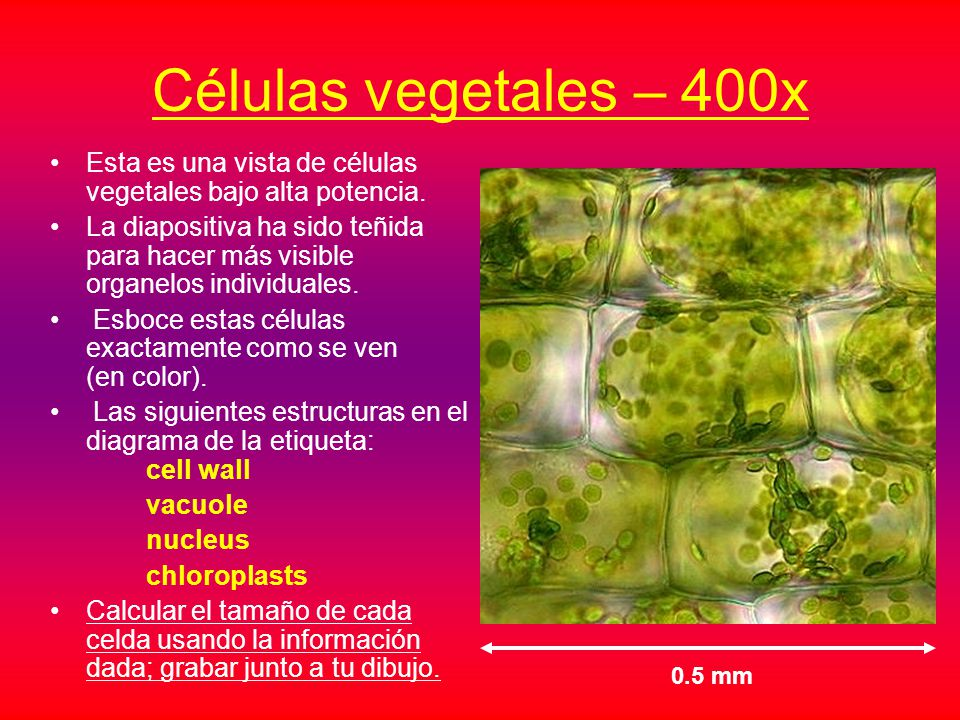 Microscopio Virtual – Animal y Vegetal Celular Tutorial - ppt descargar