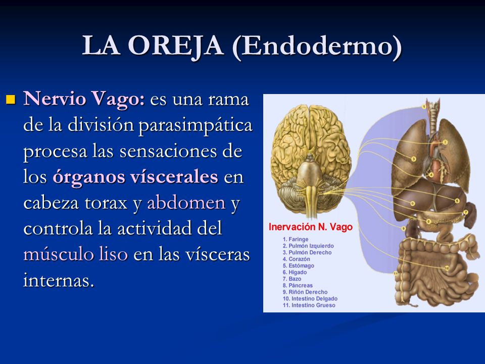LA OREJA (Endodermo)