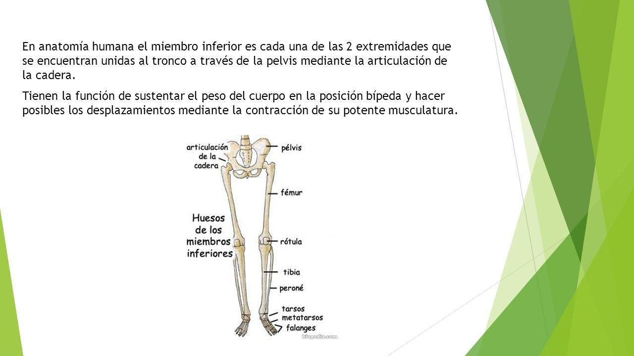 Huesos del miembro inferior - ppt video online descargar