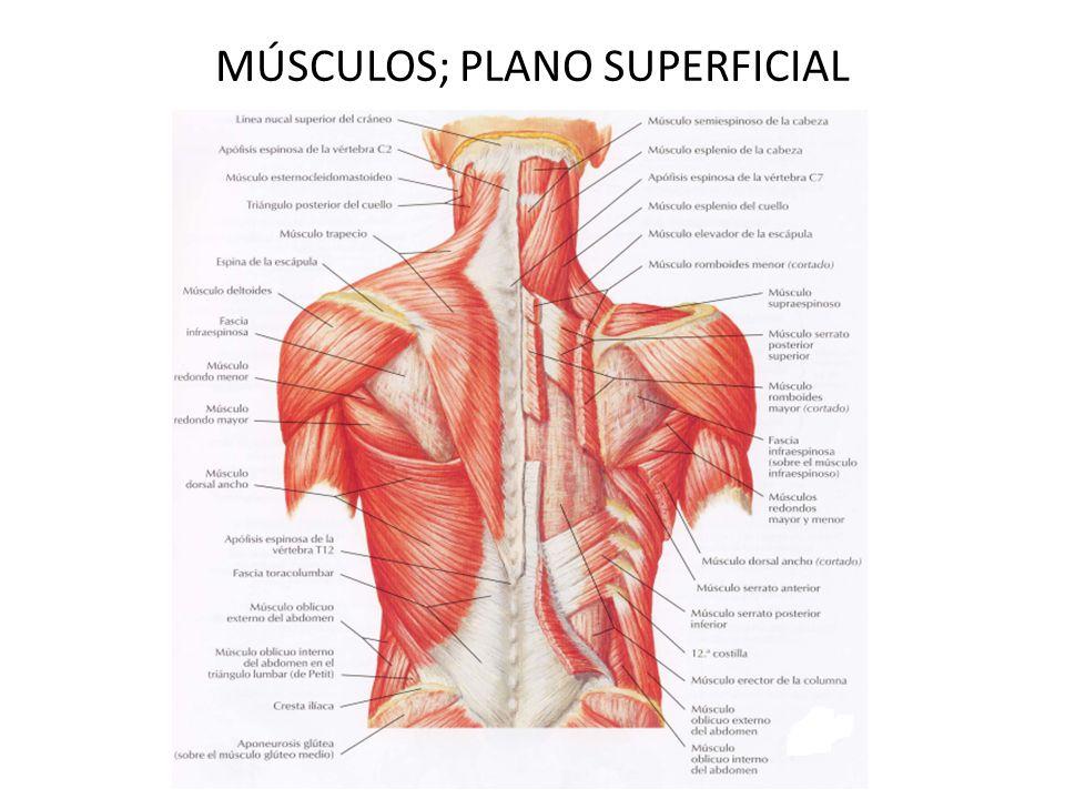 Asombroso Mapa De Músculos De La Espalda Motivo - Anatomía de Las ...