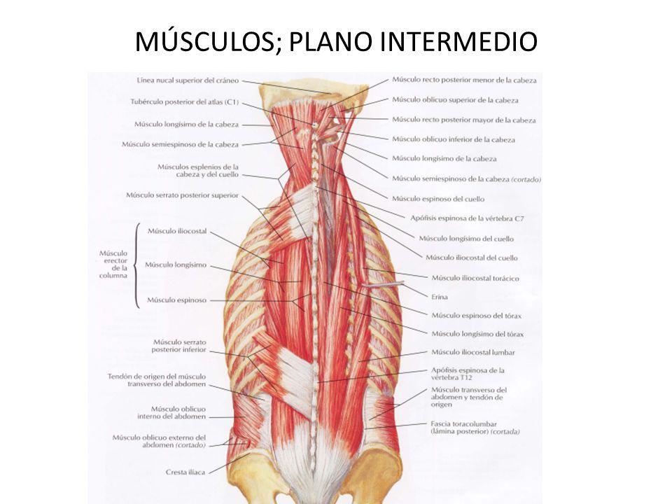 Encantador Músculos De La Espalda Diagrama Elaboración - Anatomía de ...