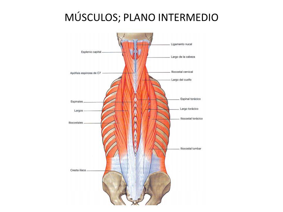 Único Músculos Cervicales Anatomía Bandera - Imágenes de Anatomía ...