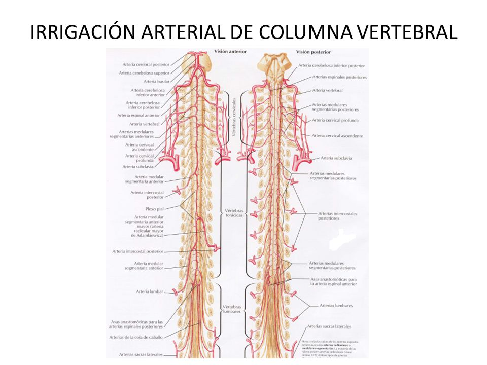 Moderno Columna Cervical Raíces Nerviosas Anatomía Galería ...
