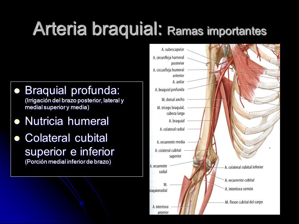 Irrigación de SNC Sistema circulatorio. - ppt video online descargar