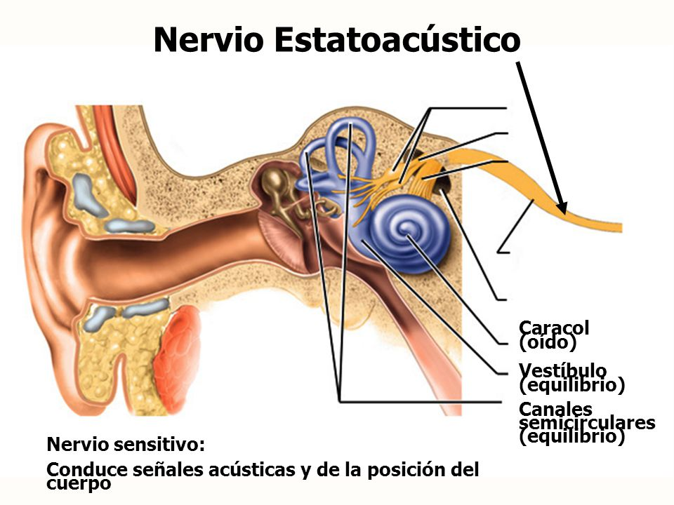 Nervio Estatoacústico