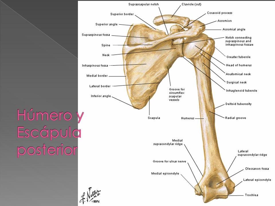 Miembro Superior Sistema óseo - ppt video online descargar