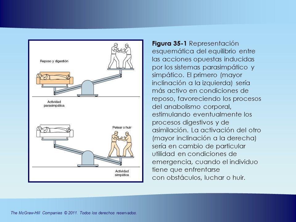 CAPÍTULO 35 vegetativo: organización, Sistema nervioso - ppt descargar