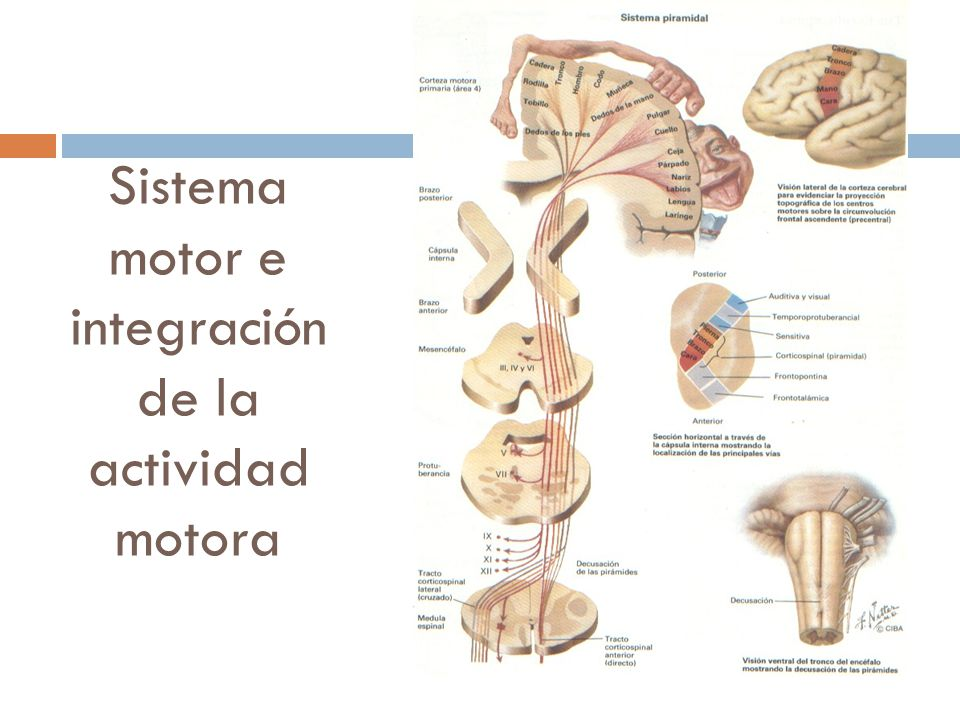 Enfermedades de la neurona motora superior e inferior - ppt video ...