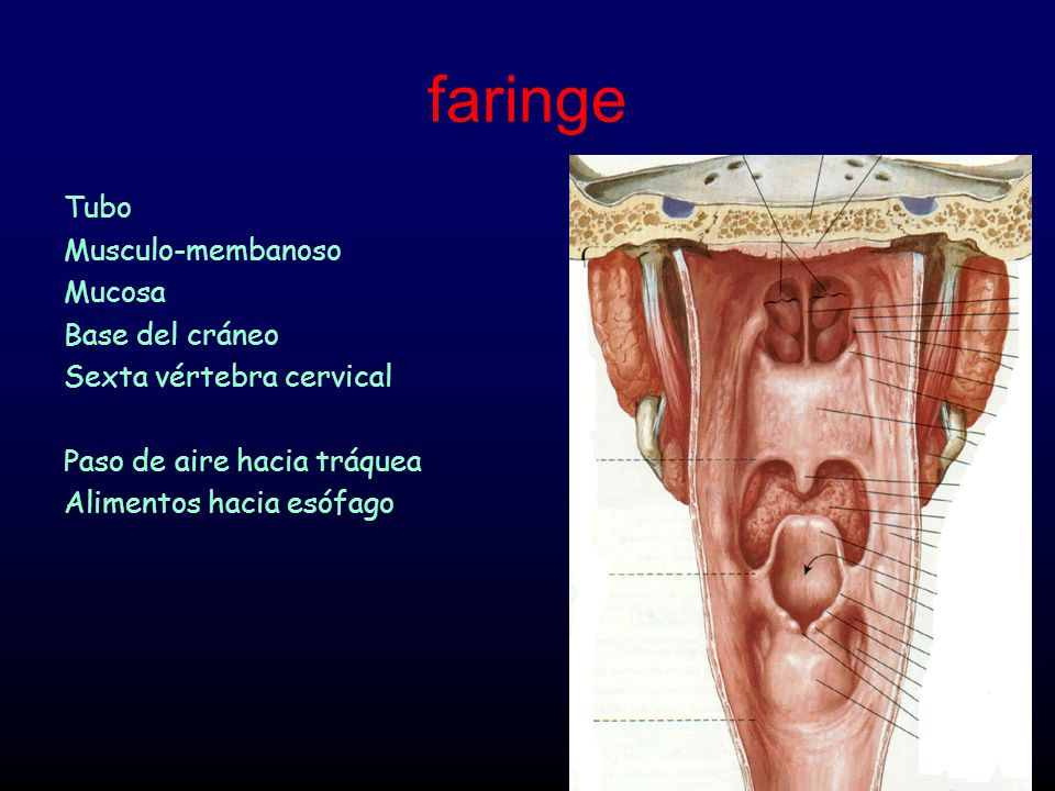 Orofaringe Dr. Eladio M. Valverde. - ppt video online descargar