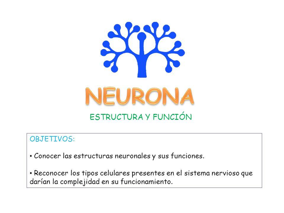 Neurona Estructura Y Función Objetivos Ppt Descargar