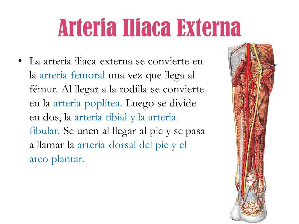 Asombroso Anatomía De La Arteria Ilíaca Externa Cresta - Anatomía de ...