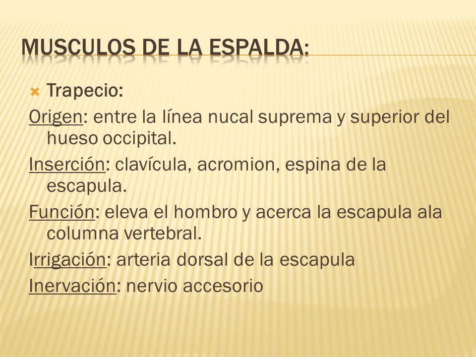 LA ESPALDA Anatomía. - ppt video online descargar
