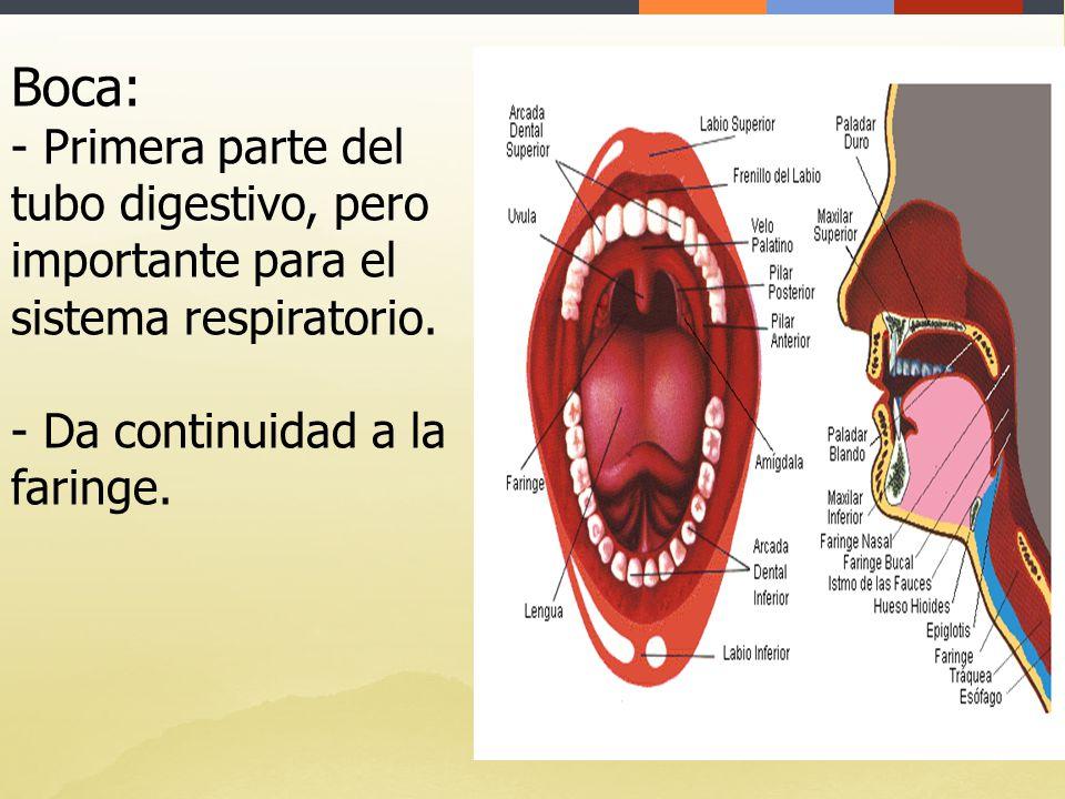 Increíble Anatomía Boca Y La Garganta Fotos - Imágenes de Anatomía ...