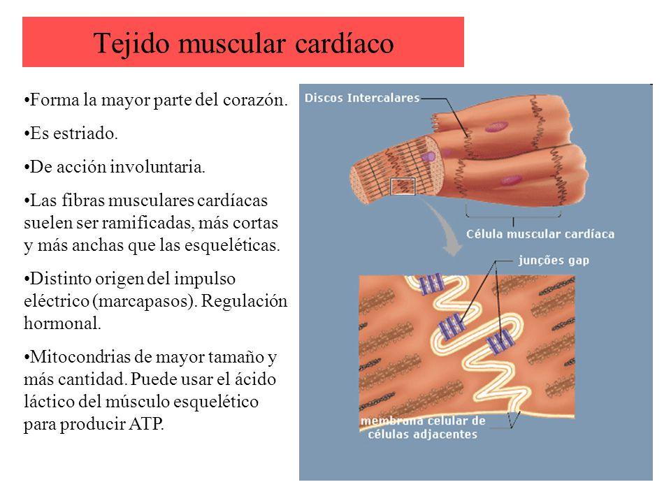 Sistema muscular. - ppt video online descargar