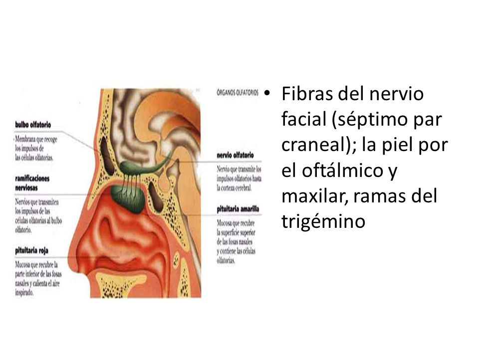 ANATOMIA DEL APARATO RESPIRATORIO - ppt video online descargar