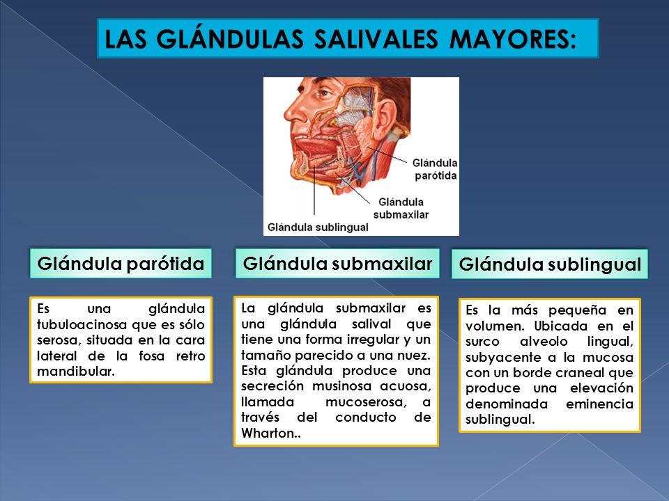 Magnífico Conductos De Las Glándulas Salivales Anatomía Bandera ...