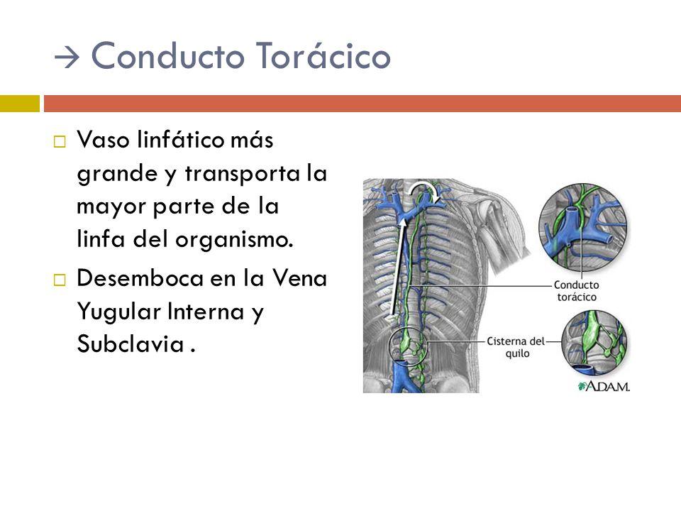 Sistema linfático Pamela Madrigal A.. - ppt video online descargar