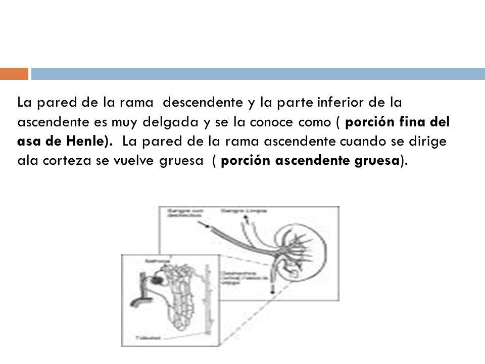 Capítulo 5 Clase 1 Nefrona Tipos de sistemas excretores. - ppt descargar